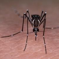 Aedes aegypti, moustique vecteur de la fièvre jaune et de la dengue, mais également du Chikungunya. © IRD/Hervy, Jean-Paul