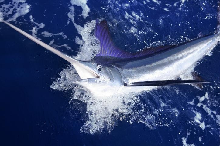 Marlin blanc de l'Atlantique