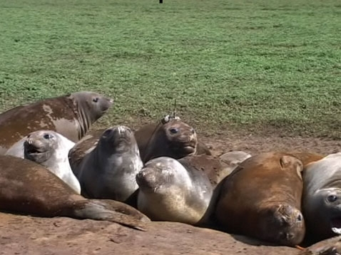 Elephant seals spend only 10% of their time out of water. Credits: MNHN-CNRS/SMRU-SEaOS.