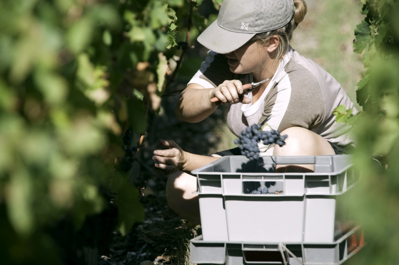 With Oenoview, Stephen Carrier can precisely harvest his vines. Credits: CNES.